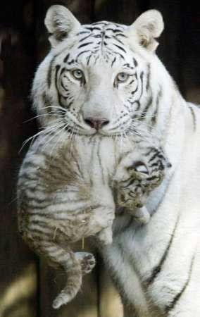 Une Maman Tigre Blanc Et Son Petit